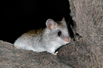 A nocturnal Acacia tree rat (Thallomys paedulcus) sitting in a tree, South Africa.