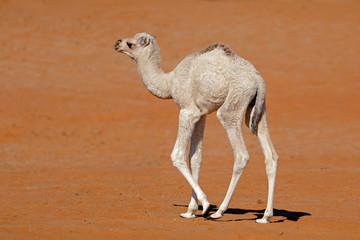 A small camel calf walking on a desert sand dune, Arabian Peninsula.