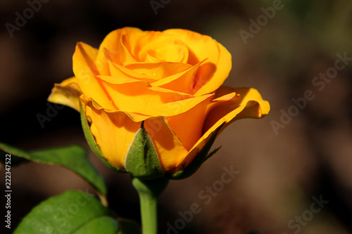 Close Up Of Single Natural Beautiful Rose Flower In The Garden