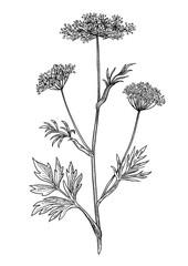 Fototapeta Anise plant illustration, drawing, engraving, ink, line art, vector obraz