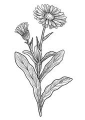 Calendula officinalis illustration, drawing, engraving, ink, line art, vector
