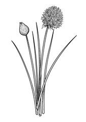 Chives illustration, drawing, engraving, ink, line art, vector