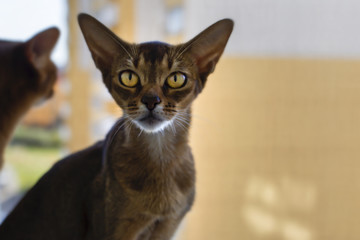 Abyssinian red cat close-up