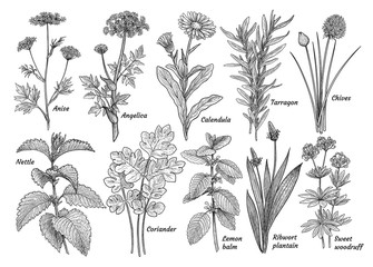 Herbs, spices, plants collection, illustration, drawing, engraving, ink, line art, vector