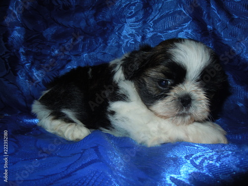 Shih Tzu Puppies Stock Photo And Royalty Free Images On Fotoliacom