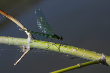 one small wild green dragonfly sits on a branch above the water