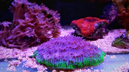 Fungia Plate LPS coral in reef aquarium