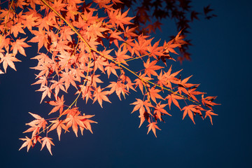 Japanischer Ahorn (Acer japonicum)