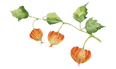 Colorful physalis on white background.