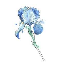 Iris flower isolated on white background. Hand drawn