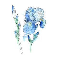 iris flowers, hand drawn