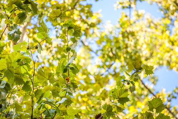 Close up on a plane tree with its yellow and green leaves, in autumn. Also known as sycamore, or platanus, the tree is a symbol of fall in northern hemisphere