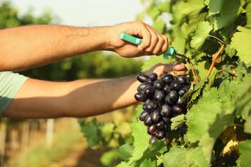 Man cutting bunch of fresh ripe juicy grapes with pruner, closeup