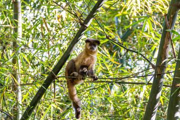 Monkey from Brazil