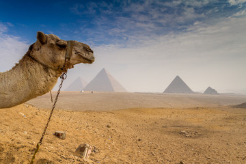 Camel photo bombs the great pyramids of Giza