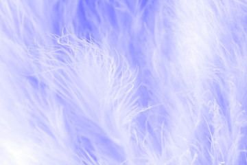 Purple bird feathers in soft and blur style, Fluffy feather background