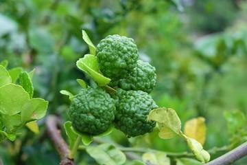 Kaffir lime of Citrus hystrix DC