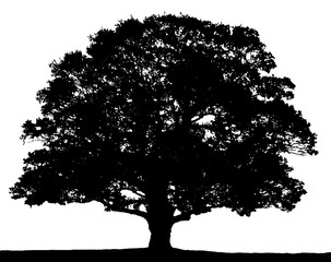 Black and white oak tree silhouette isolated on white background.