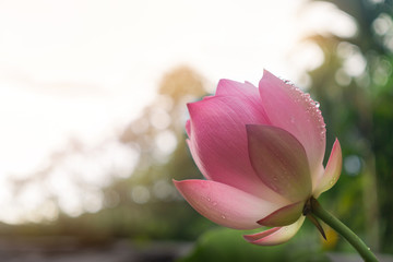The pink lotus is blooming in the morning and the buddhists took lotus to pay the Buddha image and monks.