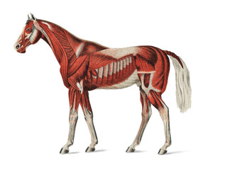 Superficial Layer of Muscles by an unknown artist (1904), a medical illustration of equine muscular system. Digitally enhanced by rawpixel.