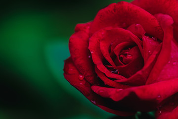 Close up red rose flower in garden.