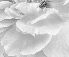 Monochrome black and white fine art still life bright floral macro flower image of rose petals with detailed texture,