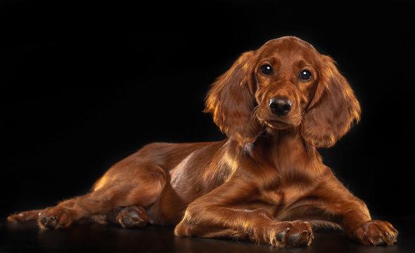 Setter Dog  Isolated  on Black Background in studio
