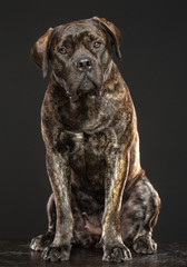 Boerboel Dog  Isolated  on Grey Background in studio