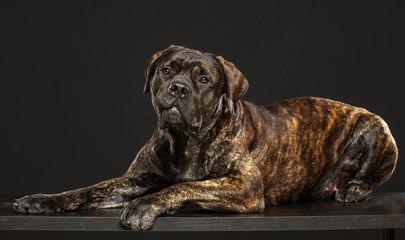 Boerboel Dog  Isolated  on Grey Background in studio