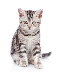 Scottish kitten sitting in front view and looking at camera. isolated on white background