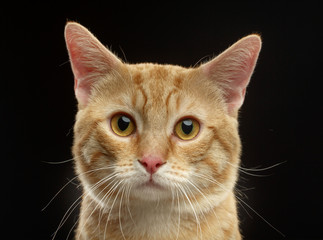 Munchkin cat isolated on Black Background in studio