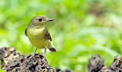 Yellow-rumped flycatcher are from Bangkok Thailand