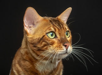 Bengal cat isolated on Black Background in studio