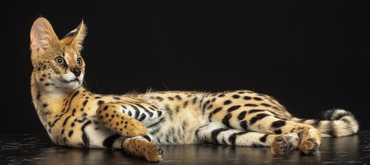 Serval cat isolated on Black Background in studio Wall mural