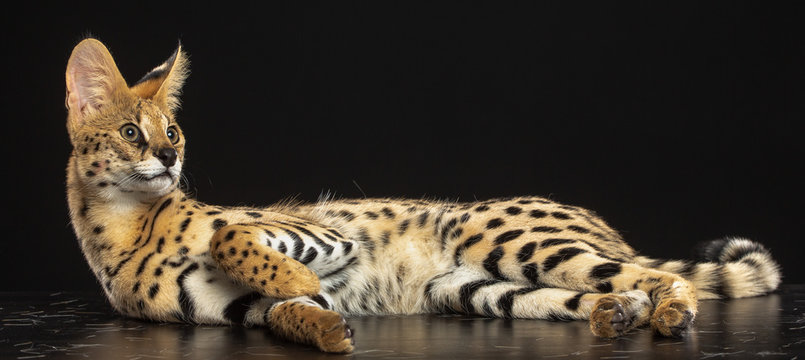 Serval cat isolated on Black Background in studio