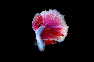 Rhythmic of red - white betta fish, siamese fighting fish betta isolated on black background