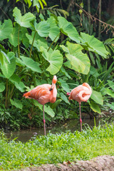 Two pink flamingo standing in water park