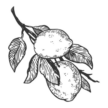 lemon citrus fruit engraving vector illustration. Scratch board style imitation. Black and white hand drawn image.