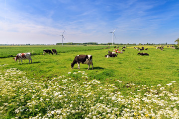 Cows (Holstein Friesians, Bos Taurus) grazing in a beautiful green meadow under a blue sky in spring in the Netherlands