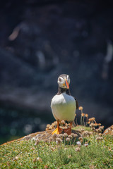 Close view of a  puffin on a rock  on sunny day in Saltee Islands