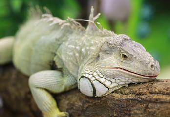 Close-up of a green iguana.