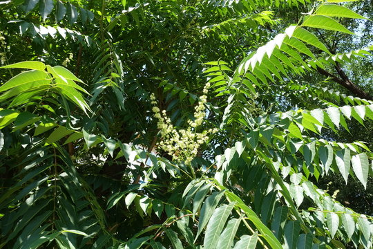 Large panicles of white flowers of Ailanthus altissima