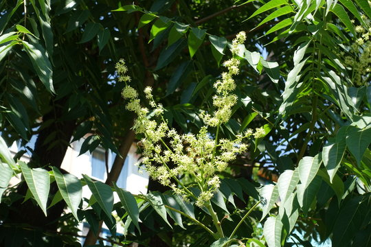 Yellowish flowers of Ailanthus altissima borne in panicle