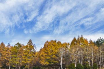 カラマツの黄葉と秋空