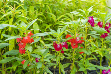 Obraz Garden Balsam Impatiens Balsamina Linn flower in garden - fototapety do salonu
