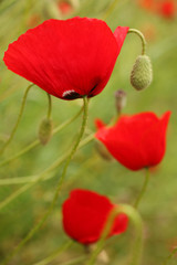 Wild poppies, a vertical picture