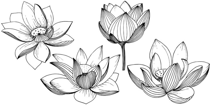 Vector lotus flower. Floral botanical flower. Isolated illustration element. Full name of the plant: lotus. Vector wildflower for background, texture, wrapper pattern, frame or border.