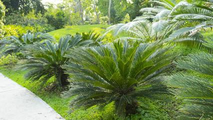 Cycad scientific name is Cycas circinalis L. Families Cycadaceae.