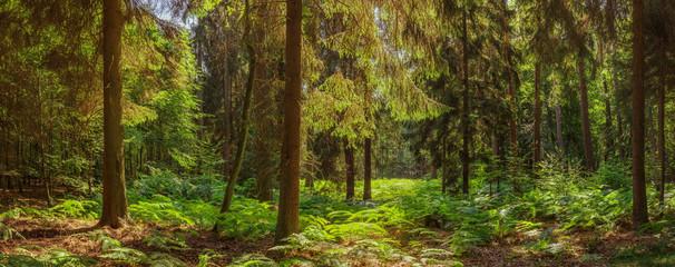 Großes Waldpanorama mit Tannenbäumen und Farn - Large forest panorama with fir trees and ferns