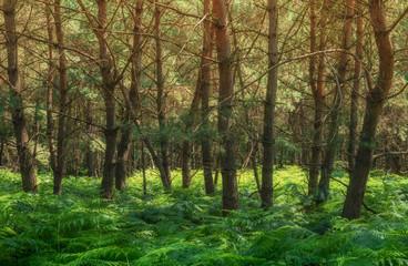 Landschaft Wald Kiefernwald mit Farn - Landscape forest pine forest with fern